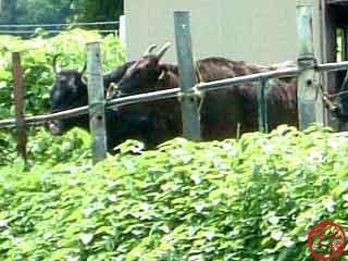 「但馬牛」の系統の基礎となった「周助ツル」