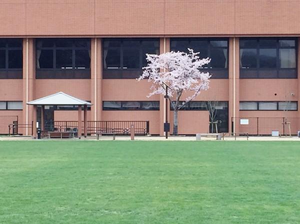 区誕生100周年の桜が咲いた